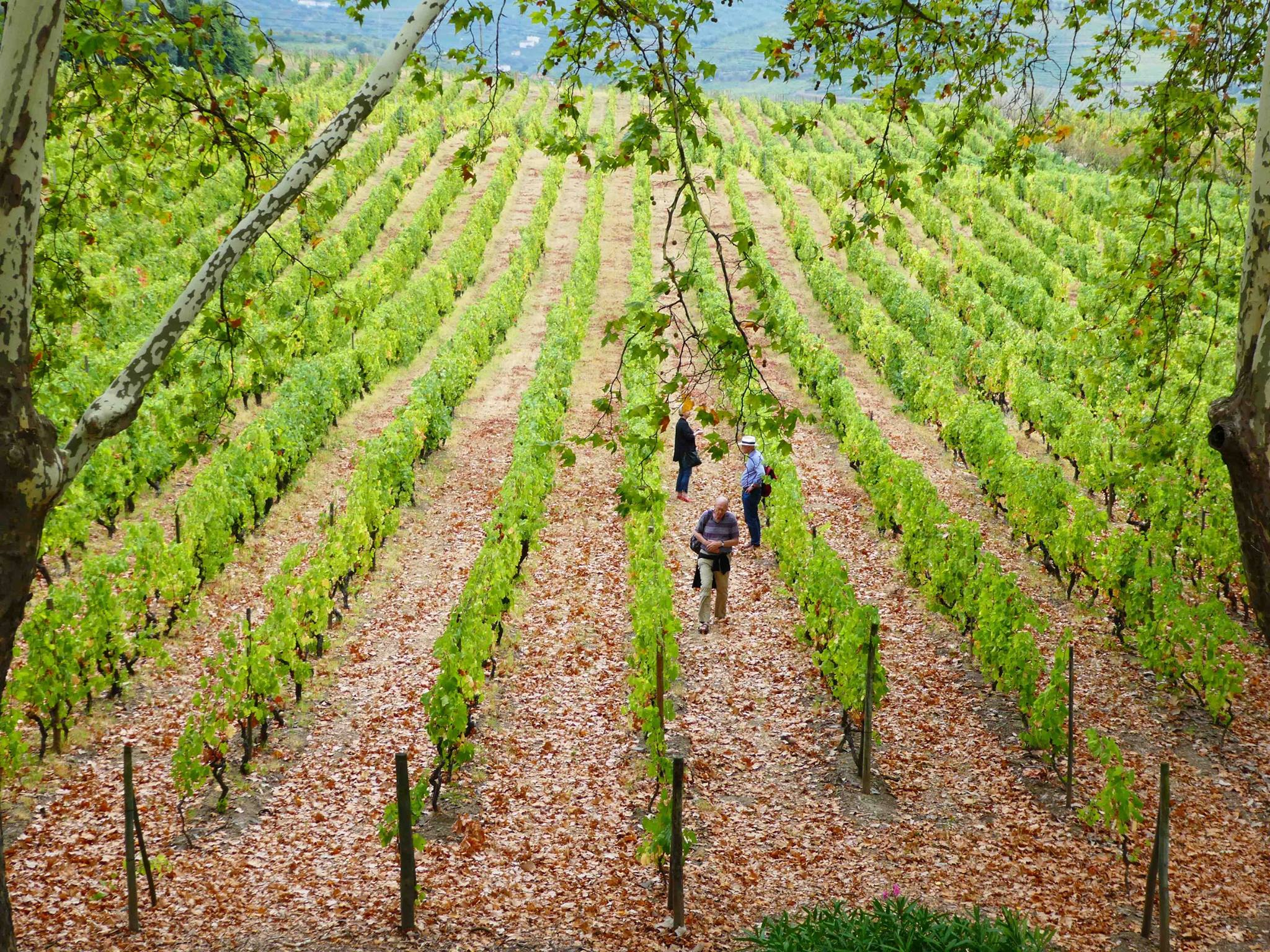 Quinta da Pacheca – Grape Harvest Program
