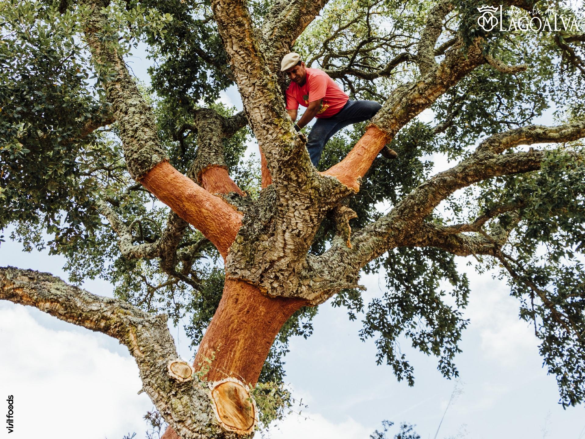 Quinta da Lagoalva – Cork Oak Harvest